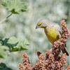 Chirihue de Raimondi |  Sicalis raimondii  |  Raimondi's Yellow-Finch