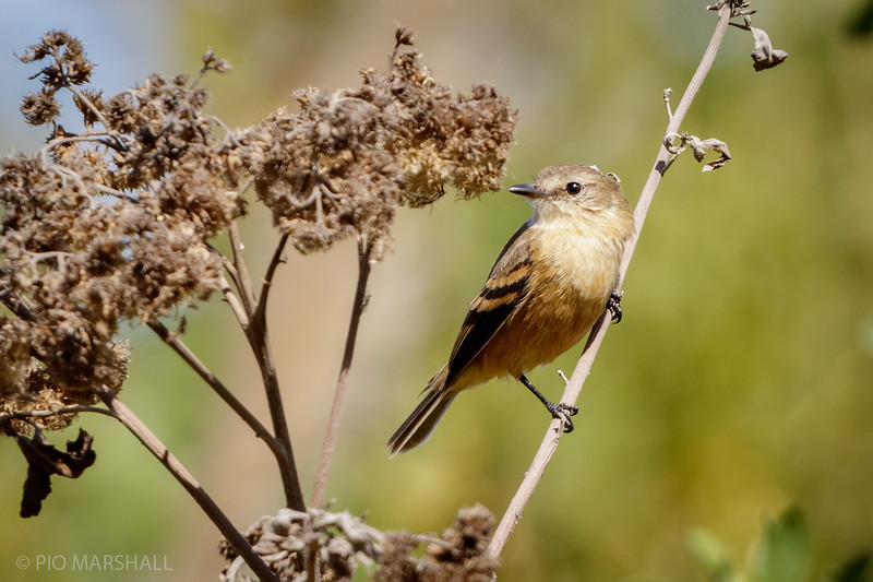 Cazamoscas de pico chato |  Myiophobus fasciatus  |  Bran-colored Flycatcher