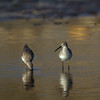 Playero de patas largas | Calidris himantopus | Stilt Sandpiper