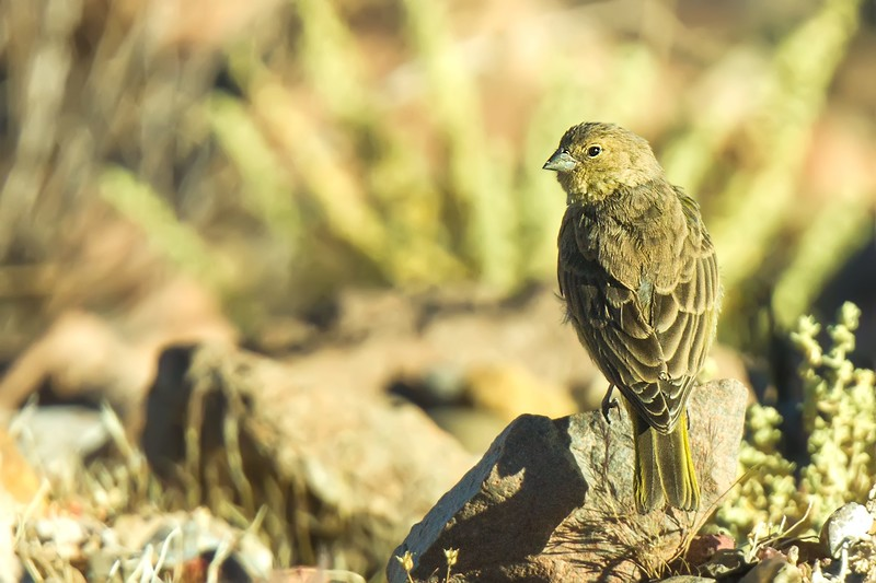 Chirihue verdoso | Sicalis olivascens | Greenish Yellow-Finch