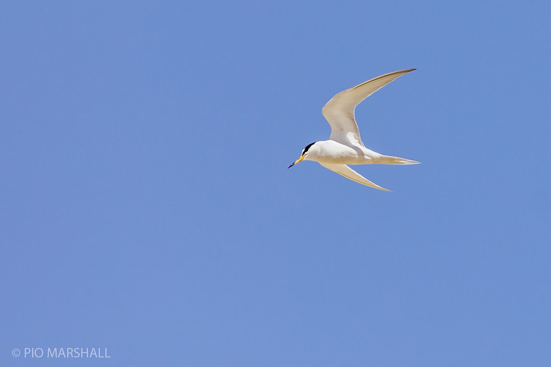 Gaviotín chico |  Sternula lorata  |  Peruvian Tern