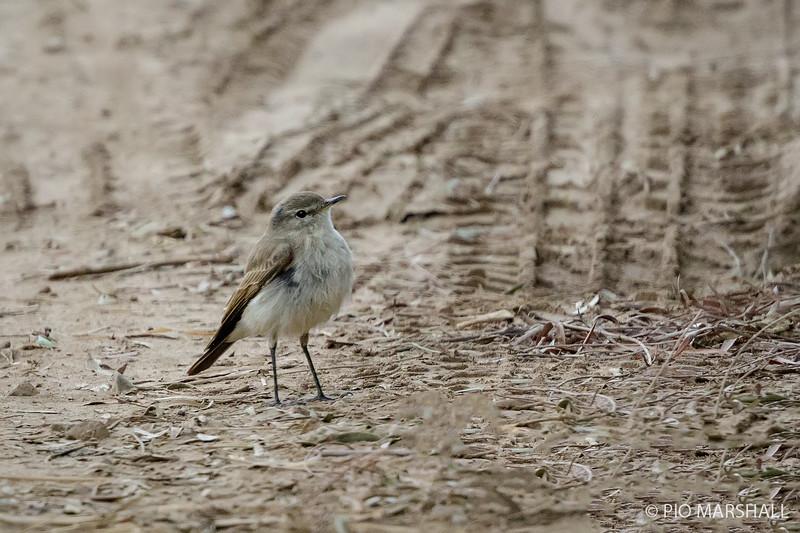 Dormilona chica    Muscisaxicola maculirostris     Spot-billed Ground-Tyrant