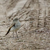 Dormilona chica |  Muscisaxicola maculirostris  |  Spot-billed Ground-Tyrant