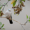Tortolita quiguagua |  Columbina cruziana  |  Croaking Ground Dove