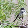 Cachudito de cresta blanca | Anairetes reguloides | Pied-crested Tit-Tyrant