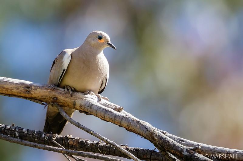 Tortolita cordillerana |  Metriopelia melanoptera  |  Black-winged Ground Dove
