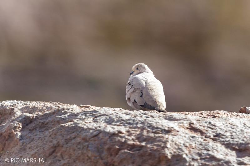 Tortolita de la puna |  Metriopelia aymara  |  Golden-spotted Ground Dove