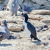 Guanay |  Phalacrocorax bougainvillii  |  Guanay Cormorant