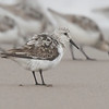 Playero blanco | Calidris alba | Sanderling