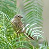 Pizarrita | Xenospingus concolor | Slender-billed Finch