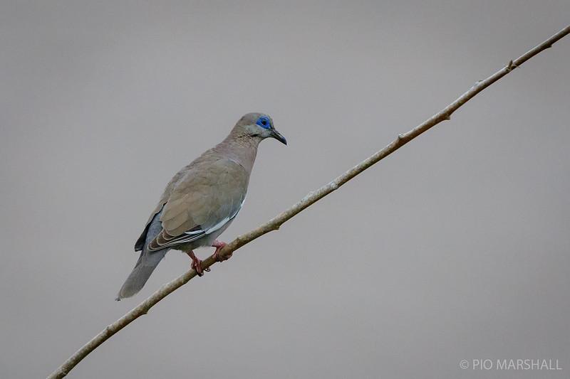 Paloma de alas blancas    Zenaida meloda     West Peruvian Dove