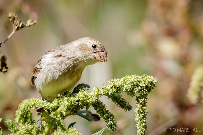 Corbatita del norte |  Sporophila telasco  |  Chestnut-throated Seedeater