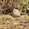 Canastero chico |  Asthenes modesta  |  Cordilleran Canastero