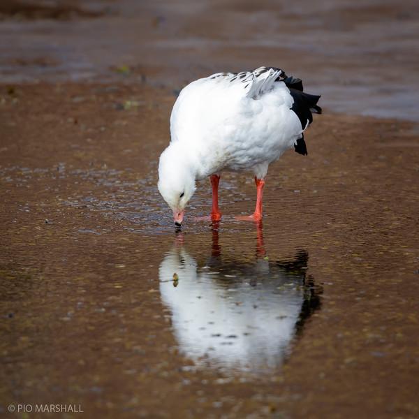 Piuquén |  Oressochen melanopterus  |  Andean Goose