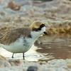 Chorlo de la puna | Charadrius alticola | Puna Plover