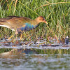Tagüita purpúrea |  Porphyrio martinica  |  Purple Gallinule
