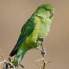 Perico cordillerano | Psilopsiagon aurifrons | Mountain Parakeet