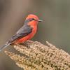 Saca-tu-real | Pyrocephalus rubinus | Vermilion Flycatcher