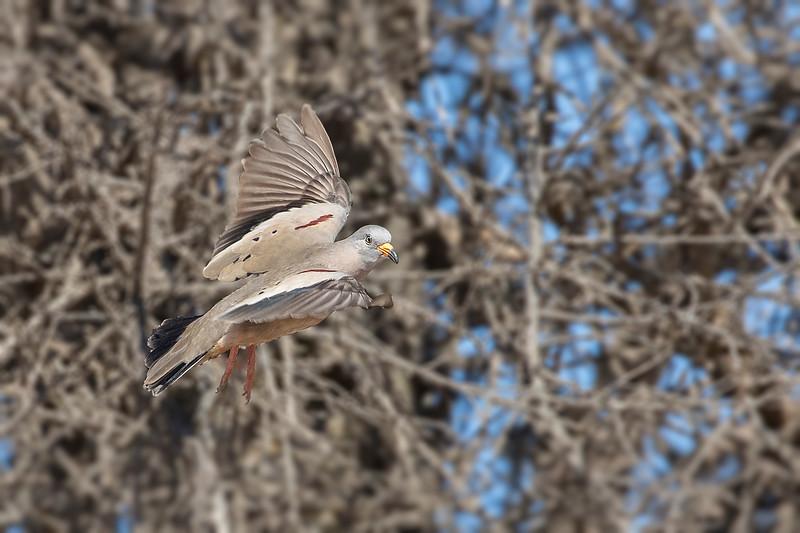 Tortolita quiguagua   Columbina cruziana   Croaking Ground Dove