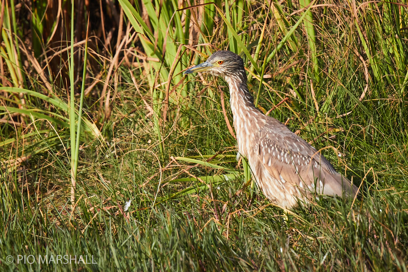 Huairavo común |  Nycticorax nycticorax  |  Black-crowned Night-Heron
