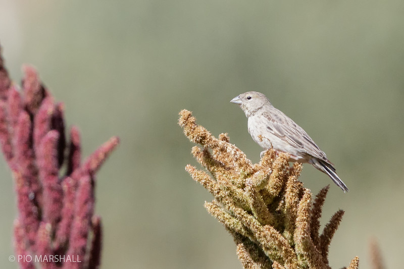 Chirihue de Raimondi    Sicalis raimondii     Raimondi's Yellow-Finch