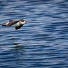 Golondrina de mar de collar | Oceanodroma hornbyi | Ringed Storm-Petrel