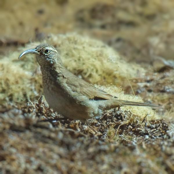 Bandurrilla común | Upucerthia dumetaria | Scale-throated Earthcreeper
