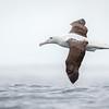 Albatros real |  Diomedea epomophora  |  Royal Albatross