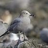 Gaviota garuma |  Leucophaeus modestus  |  Gray Gull