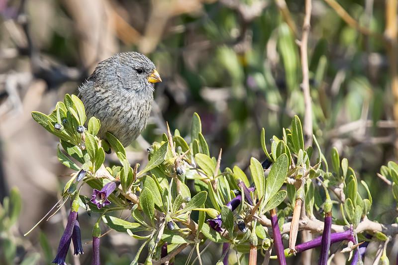 Semillero | Catamenia analis | Band-tailed Seedeater