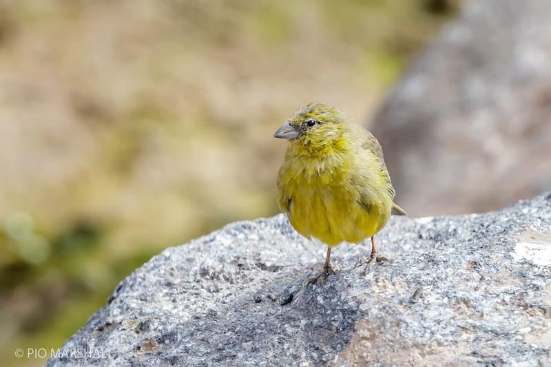 Chirihue verdoso    Sicalis olivascens     Greenish Yellow-Finch