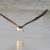 Rayador | Rynchops niger | Black Skimmer