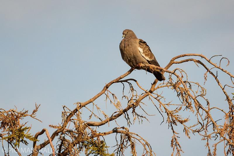 Paloma manchada |  Patagioenas maculosa  |  Spot-winged Pigeon