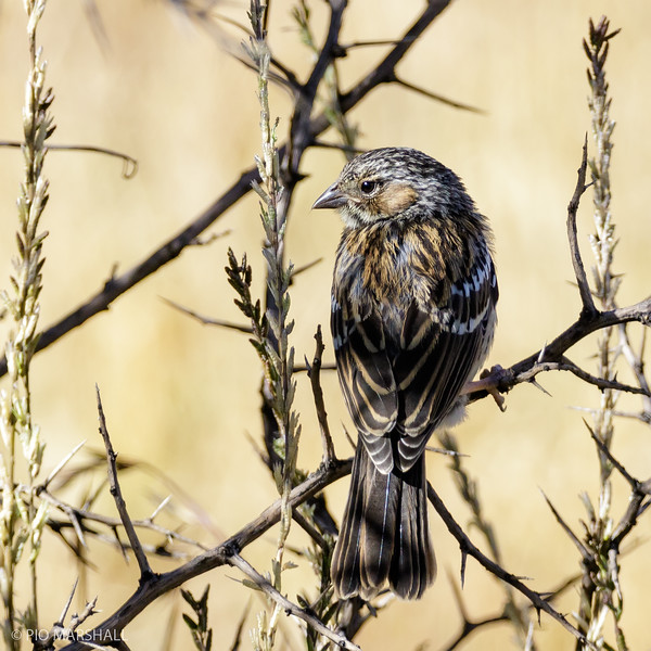 Yal común |  Rhopospina fruticeti  |  Mourning Sierra Finch