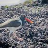 Pilpilén común |  Haematopus palliatus  |  American Oystercatcher