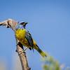 Naranjero |  Pipraeidea bonariensis  |  Blue-and-yellow Tanager