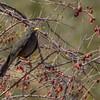 Zorzal negro |  Turdus chiguanco  |  Chiguanco Thrush