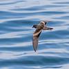 Golondrina de mar negra | Oceanodroma markhami | Markham's Storm-Petrel