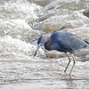 Garza azul |  Egretta caerulea  |  Little Blue Heron