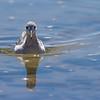 Pollito de mar tricolor | Phalaropus tricolor | Wilson's Phalarope
