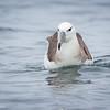 Albatros de ceja negra |  Thalassarche melanophris  |  Black-browed Albatross