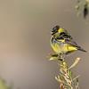 Jilguero peruano | Spinus magellanicus | Hooded Siskin