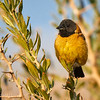 Cometocino del norte |  Phrygilus atriceps  |  Black-hooded Sierra Finch