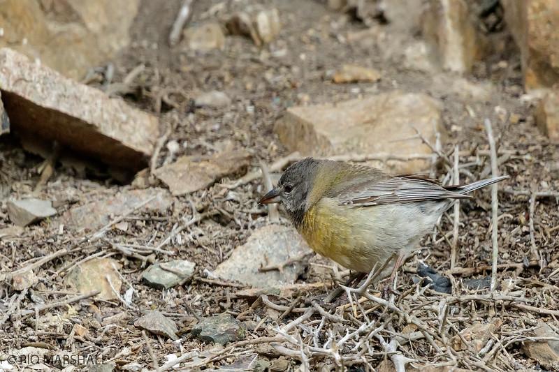 Cometocino de Gay    Phrygilus gayi     Gray-hooded Sierra Finch