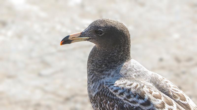 Gaviota peruana | Larus belcheri | Belcher's Gull