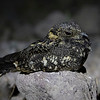 Gallina ciega común | Systellura longirostris | Band-winged Nightjar