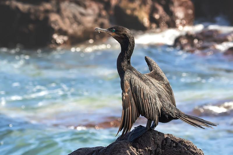 Yeco   Phalacrocorax brasilianus   Neotropic Cormorant