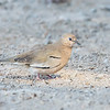 Tortolita cuyana |  Columbina picui  |  Picui Ground Dove