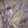 Chincol |  Zonotrichia capensis  |  Rufous-collared Sparrow