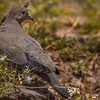 Tortolita cordillerana | Metriopelia melanoptera | Black-winged Ground Dove